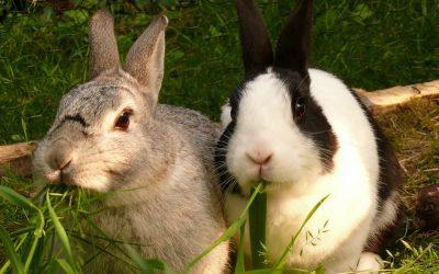 Een konijn kopen of adopteren