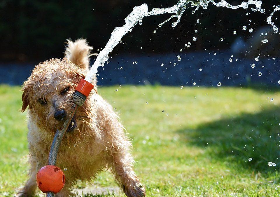 Hoe krijg ik een hond genoeg in beweging wanneer het warm is?