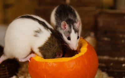 Ratten als huisdier houden