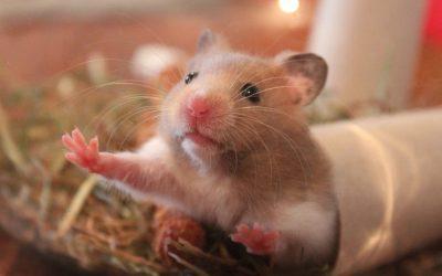 Het verzorgen van een hamster