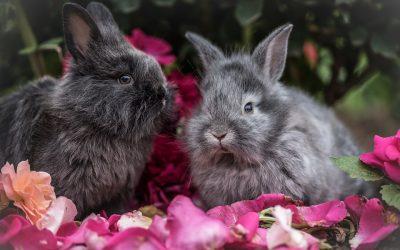 Wat je moet weten voor je een konijn als huisdier gaat aanschaffen?