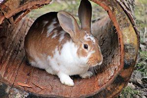 weetjes over konijnen