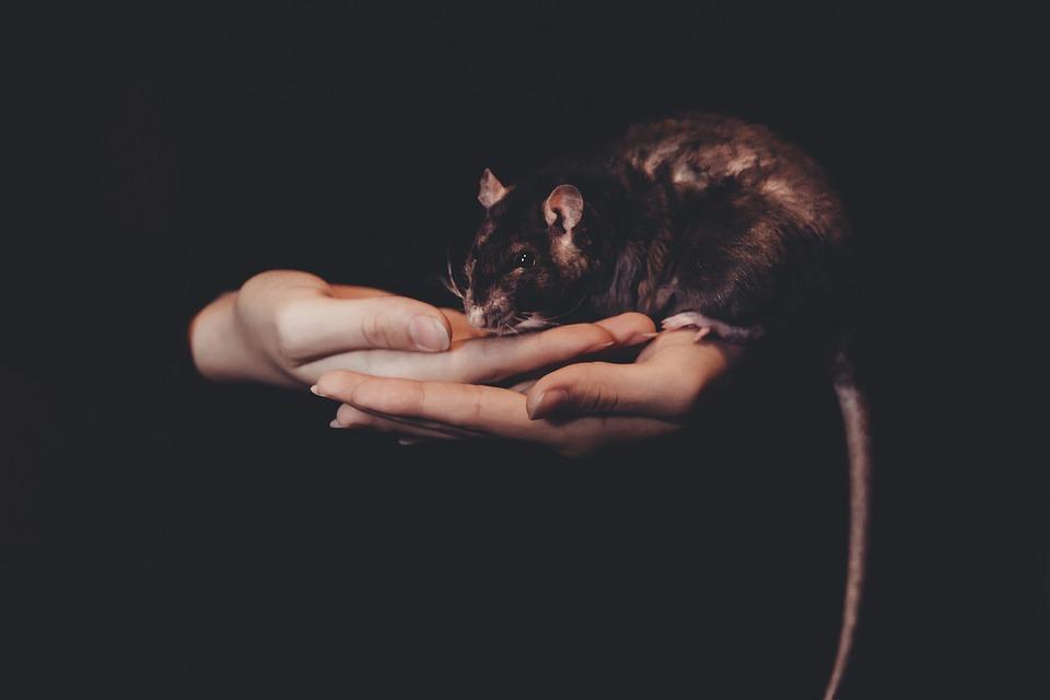 Een rat als huisdier
