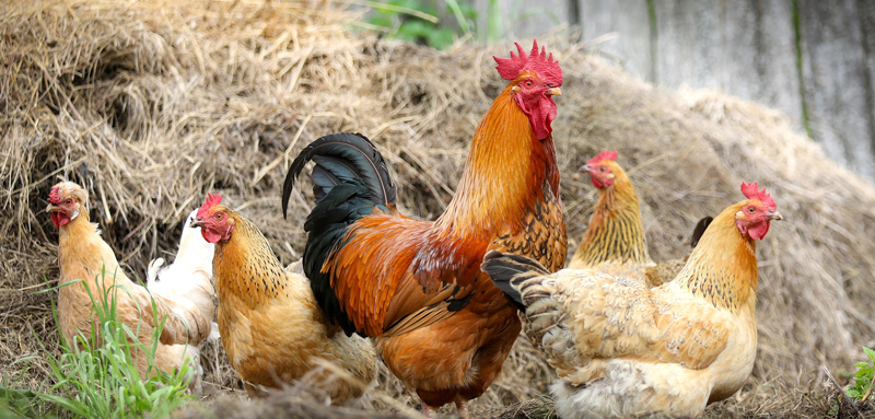 kippenziekten